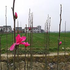 http://www.jtjhly.com/honghuayulan/jiaohong/1195.html