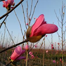 http://www.jtjhly.com/honghuayulan/jiaohong/1236.html