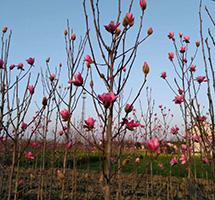 娇红玉兰种植基地