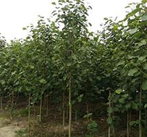 红花玉兰种植基地