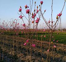娇红玉兰专业种植基地